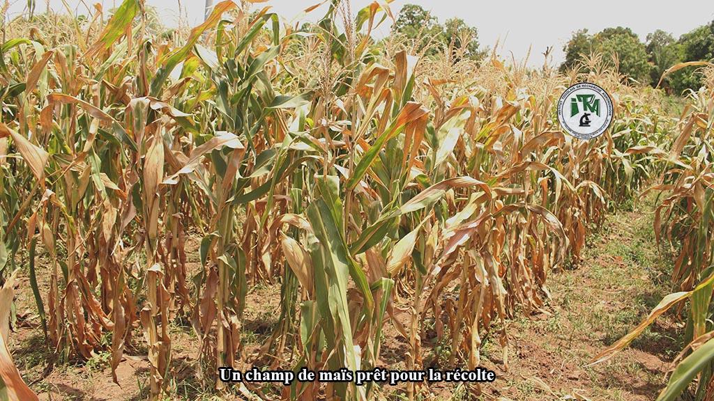 Pour éviter les aflatoxines, évitez de mettre les produits de récolte en contact avec le sol