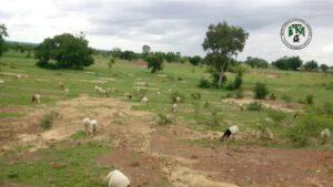 Difficile de contrôler les moutons en divagation